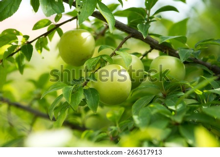 green plum - stock photo