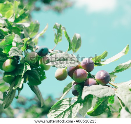Green plum on the banches in summer time - stock photo