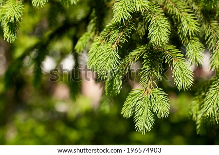 green prickly branches of a fur-tree or pine - stock photo