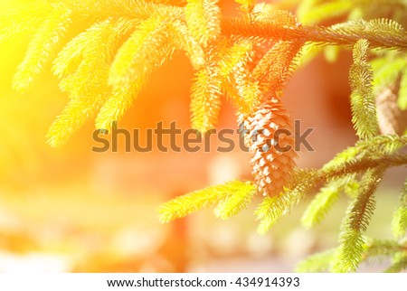 Green prickly branches of spruce or pine. Pine cone on the fur-tree. - stock photo