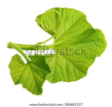 Green pumpkin leaf isolated on white background - stock photo