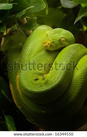 Green Python - Morelia viridis - stock photo