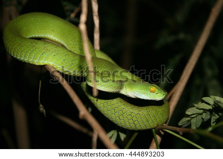 Green Python on a branch - stock photo