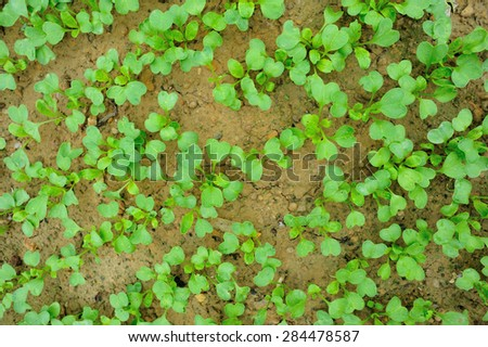 green radish sprouts in growth at vegetable garden - stock photo