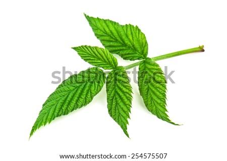 green raspberry leaf on white background - stock photo