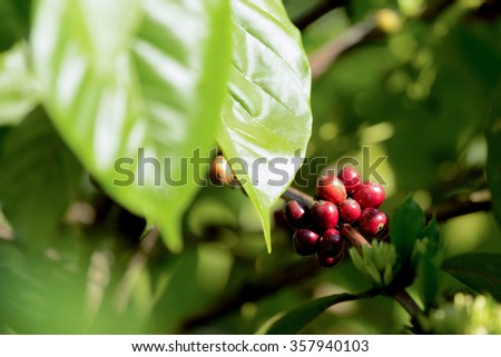 green raw coffe plant in agricultural farm in Bali, Indonesia - stock photo