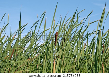 green reed field, macro - stock photo