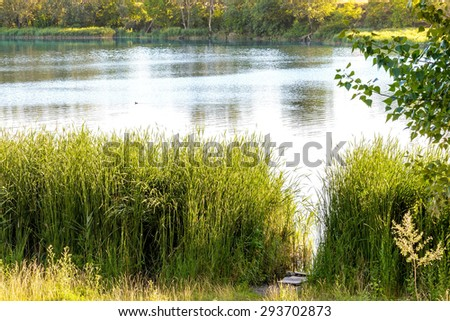Green reeds are growing close to the lake in summer. The evening light plays with the wind and creates a quiet atmosphere. Ducks are swimming on the water. - stock photo