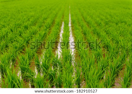Green rice cultivation field - stock photo