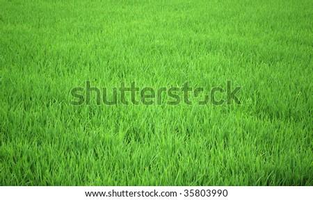 Green rice field - stock photo