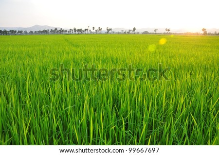 green rice field from Thailand - stock photo