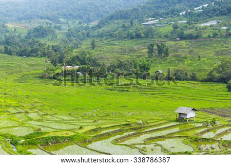 Green rice field in asia at spring time  - stock photo