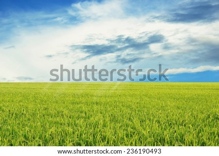 green rice field with blue sky landscape background - stock photo