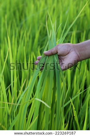 Green rice field with farmer hand in Bangladesh - stock photo