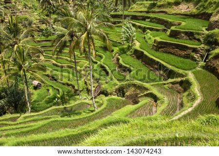 Green rice fields on Bali island, Indonesia - stock photo