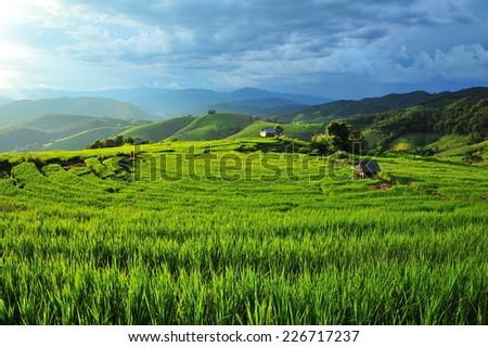 Green Rice Paddy Fields - stock photo