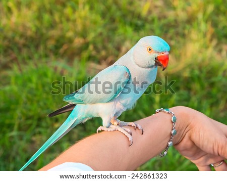 Green Ringneck Parrot are on the arm their owners. - stock photo