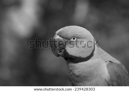 Green Ringneck Parrot in Black and White - stock photo