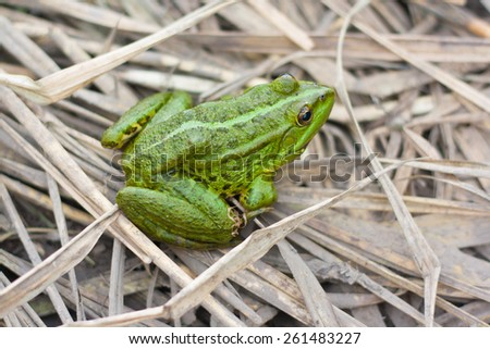 green river frog sitting on a dry grass - stock photo