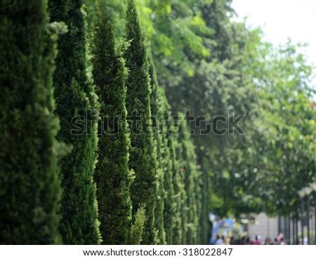 Green row of thujas in garden in Palma de Mallorca - stock photo