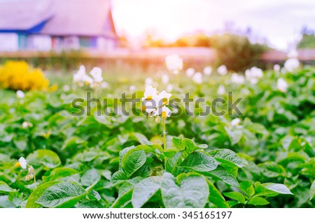 Green rows and flower of potato with sunlight in garden - stock photo