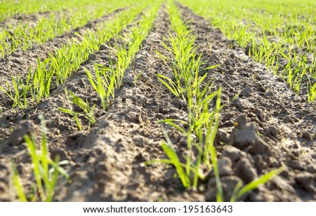 Green rows of new seedlings - stock photo