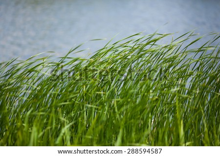 green rush against water background - stock photo