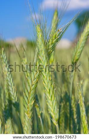 Green rye ears in the field  - stock photo