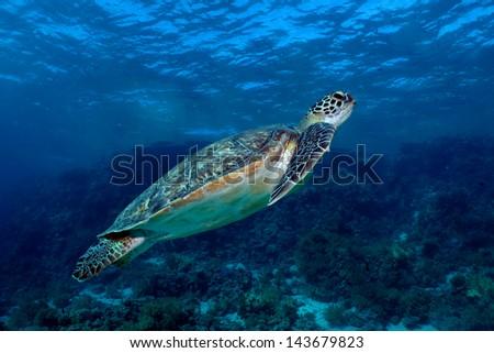 Green sea turtle. (Chelonia mydas) - stock photo