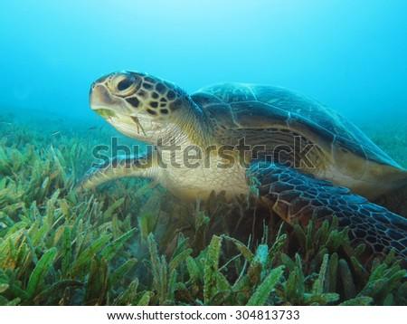 Green sea turtle (Chelonia mydas) feeding on seagrass - stock photo