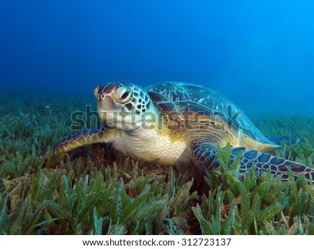 Green sea turtle (Chelonia mydas) on seagrass meadow - stock photo