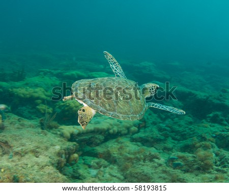 Green Sea Turtle-Chelonia mydas, picture taken in Broward County, Florida - stock photo