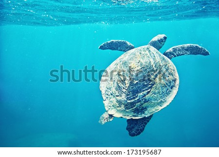 Green Sea Turtle (Chelonia mydas)  pops up to take a sip of air - stock photo