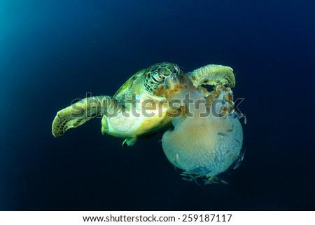 Green Sea Turtle eats large pelagic Jellyfish - stock photo