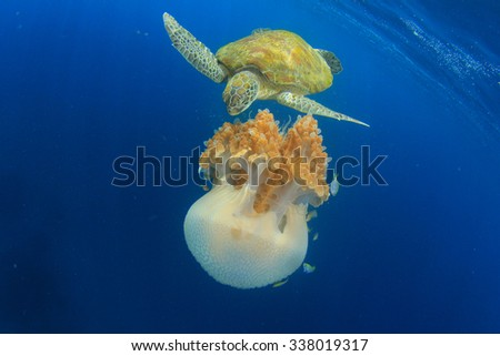Green Sea Turtle feeds on large pelagic Jellyfish - stock photo