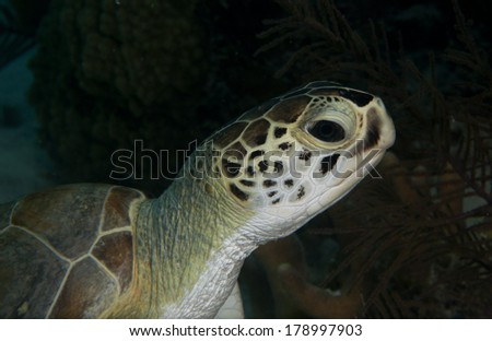Green Sea Turtle Head - stock photo