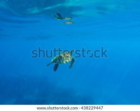 Green sea turtle in blue water. Green turtle swimming in blue sea. Ocean animal living underwater. Dive spot with turtles. Sea turtle close to water surface. Big green turtle travelling in ocean water - stock photo