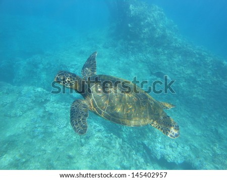 Green Sea Turtle Oahu Hawaii - stock photo