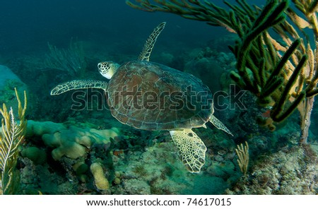 Green Sea Turtle on a reef in south east Florida. - stock photo