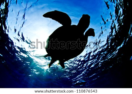 Green Sea Turtle on surface, silhouette from below - stock photo