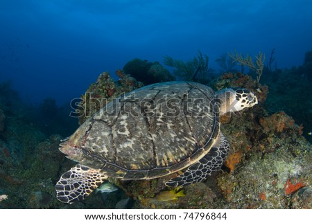 Green Sea Turtle Over Coral Reef - stock photo