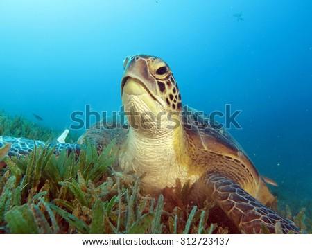 Green sea turtle portrait - stock photo
