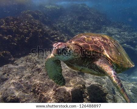 Green Sea Turtle Swimming Underwater - stock photo