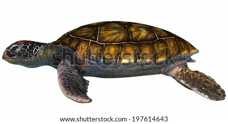 Green Sea Turtle - The Green Sea Turtle is found in tropical and subtropical oceans and is mostly herbivorous eating seagrasses. - stock photo