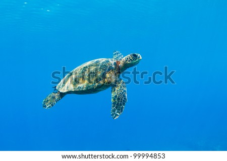 Green Sea Turtle Under Water in Hawaii - stock photo