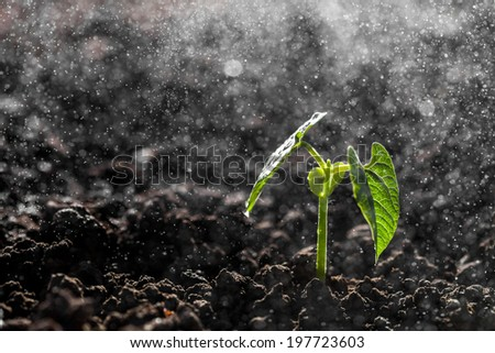 Green seedling growing on the ground in the rain  - stock photo