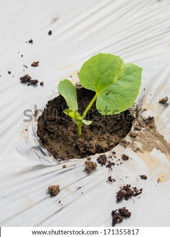 Green seedlings melon sprout sowing on mulching film - stock photo