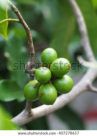 green seeds of tropical, THAI, yellow aroma flower of large creeping plant, ANNONACEAE, Artabotrys hexapetalus (L.f.) Bhandari. close up under natural sunlight and outdoor background - stock photo