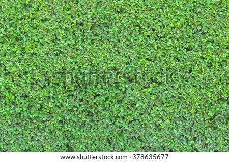 Green shrub wall natural texture background of Apocynaceae family plant, Wrightia religiosa: Authentic tree bush leaves wallpaper detail pattern backdrop for fence design architecture and decoration - stock photo