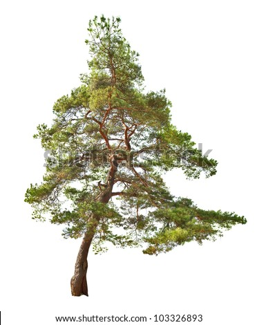 green single pine isolated on white background - stock photo